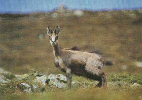 Observation de chamois en été en randonnée pédestre dans le Cantal - Laurent BESNARD, AMM